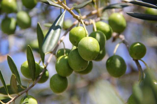 小豆島のオリーブ