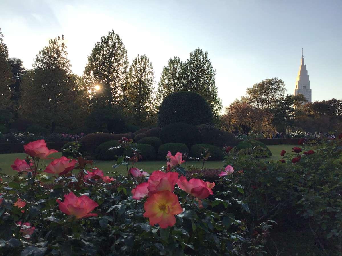 新宿御苑の秋バラ