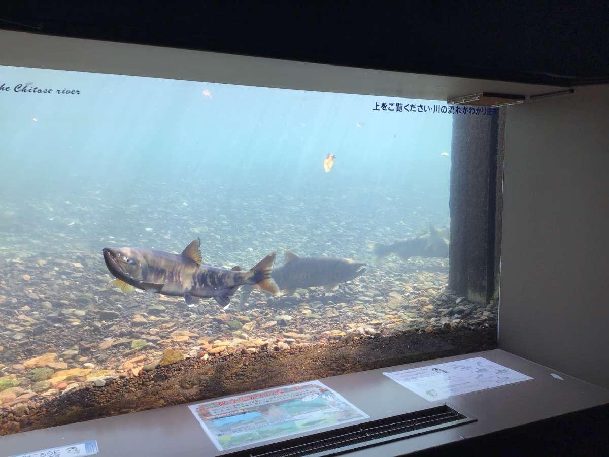 千歳水族館の水中観察ゾーン